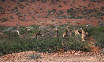 Giraffe Damaraland Western Namibia