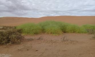 Acanthosicyos Horridus (Nara Melon Plant) in Sossusvlei, Namibia