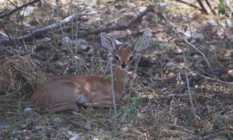 Steenbok resting in the shade in Etosha National Park, Northern Namibia