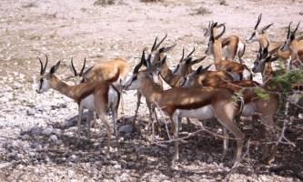 Springboks in Etosha National Park,  Northern Namibia
