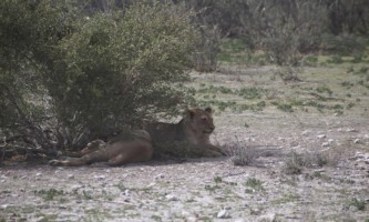 Lion & lioness resting in the shade in Etosha National Park, Northern Namibia