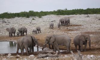 Herd of elephants at the waterhole, Okaukuejo, Etosha Namibia