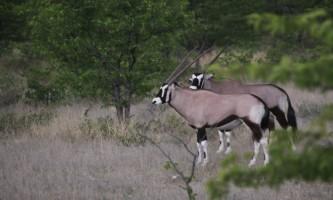 Oryx in Etosha Namibia