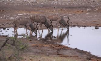Male Kudus at Waterhole in Etosha National Park,  Namibia
