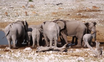 Elephants drinking water at the waterhole, Etosha, Namibia