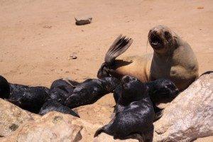 Seals and baby seals at Cape Cross Namibia